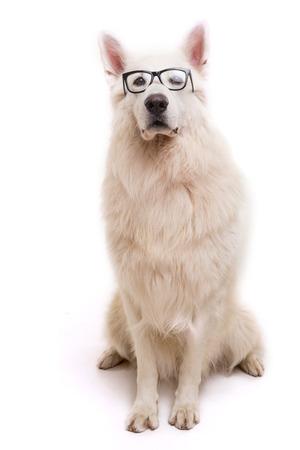 Beautiful Swiss White Shepherd dog posing in studio photo
