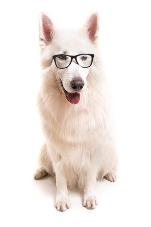white shepherd dog: Bello cane svizzero bianco pastore in posa in studio