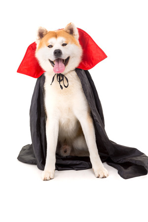 Beautiful Akita Inu dog dressed for Carnival or Halloween