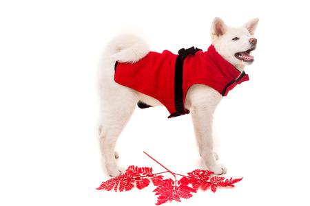 akita: Akita Inu - Valentines Day concept