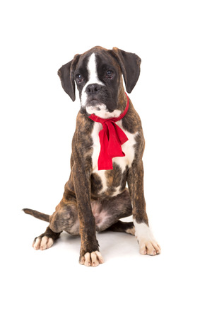 Boxer - Valentines day concept photo