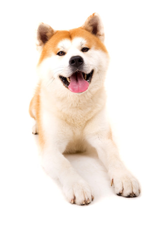 Beautiful Akita Inu dog posing in studio 写真素材