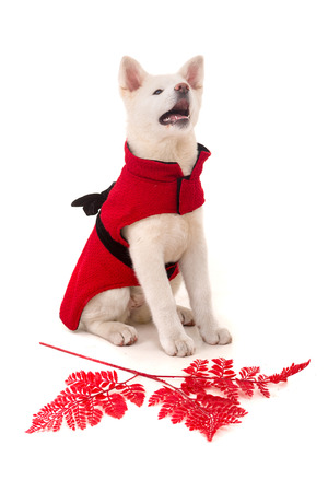 Akita Inu - Valentines Day concept photo
