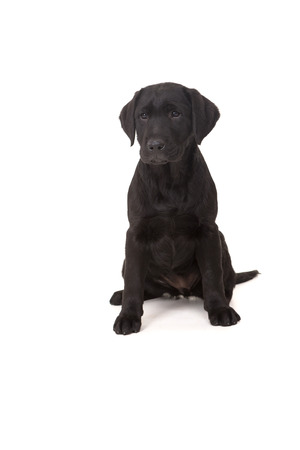 closeup puppy: Studio photo of a baby labrador retriever, isolated over a white background Stock Photo