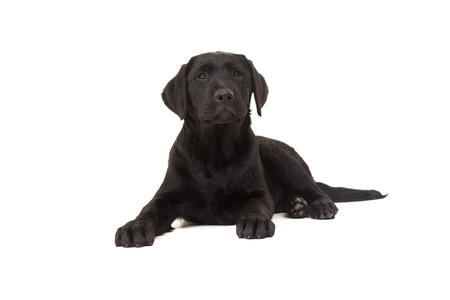 Studio photo of a baby labrador retriever, isolated over a white background photo