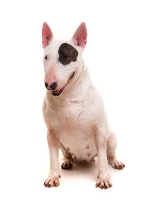 miniature dog: Studio shot of a beautiful bull terrier Stock Photo