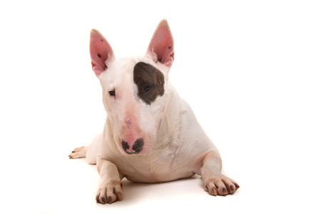 miniature breed: Studio foto de una hermosa bull terrier
