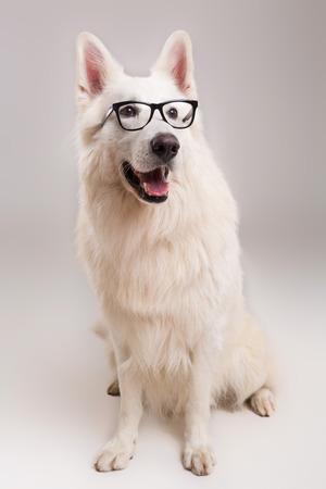 white shepherd dog: Beautiful Swiss White Shepherd dog posing in studio