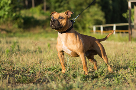 Beautiful staffordshire bull terrier posing in a park at the sunset Stock Photo