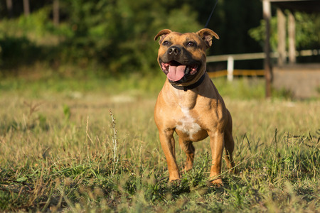 garden staff: Beautiful staffordshire bull terrier posing in a park at the sunset Stock Photo