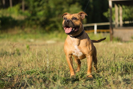 stay alert: Beautiful staffordshire bull terrier posing in a park at the sunset Stock Photo