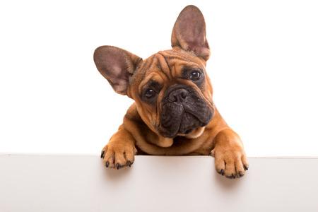 bulldog: Divertido cachorro de Bulldog francés sobre una bandera blanca, aislado