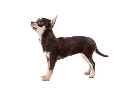 chihuahua pup: Studio shot of a Chihuahua puppy isolated over white background Stock Photo