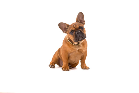 french bulldog puppy: Funny French Bulldog puppy posing isolated over a white background