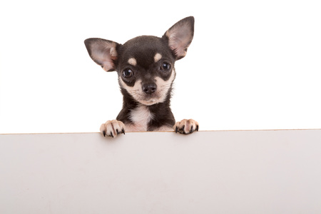 chihuahua pup: Chihuahua puppy above white banner. isolated