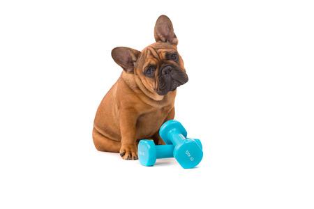 Grappige Franse Bulldog puppy gaan op een dieet, geïsoleerde over wit Stockfoto