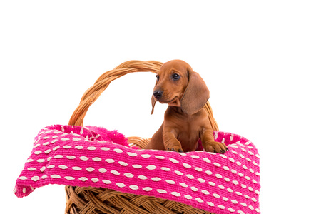 Studio shot of a beautiful teckel puppy, isolated over white background Stock Photo