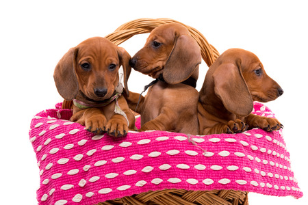 Studio shot of a group of beautiful teckel puppies, isolated over white background Stock Photo