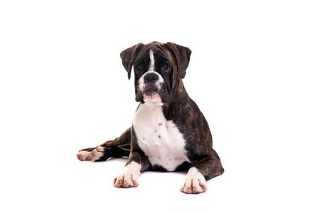 Un cucciolo giovane e bello del pugile, isolato sopra priorità bassa bianca Archivio Fotografico - 96337948