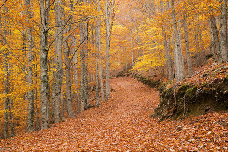 Landscape of a colorful beech forest in autumn