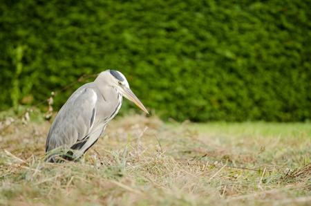 ardeidae: Herron looking at grass Stock Photo