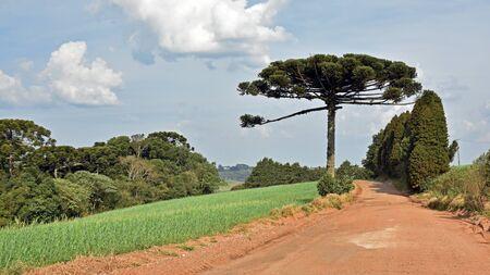 Nature scene of a pinheiro tree made in Brazil Parana.