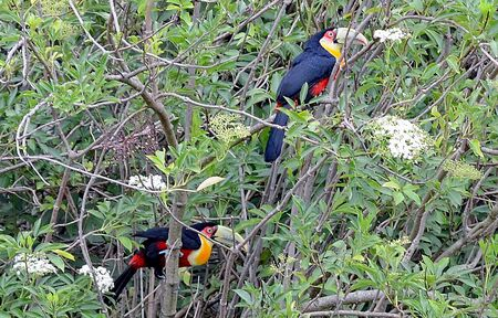 Two tucans sitting in a tree taken in the south of Brazil.