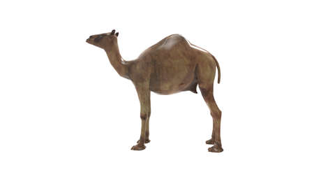 3D rendering of a camel, dromedary animal beast cattle isolated
