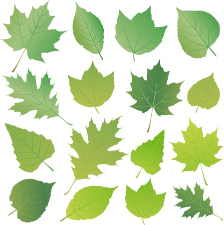 poplar: green leaf Illustration