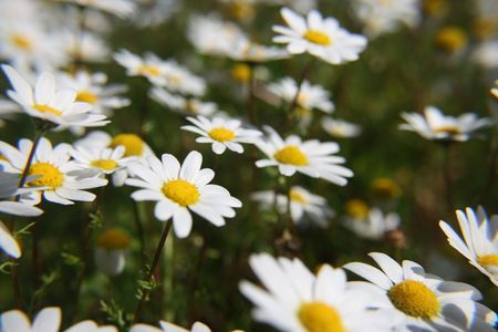 spring time view of meadow with daisys Stock Photo - 6653577
