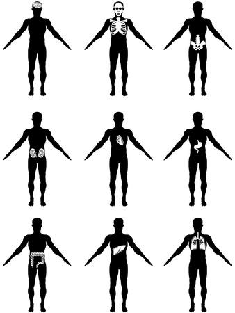 scheletro umano: isolato del corpo umano con gli organi su sfondo bianco Vettoriali