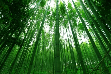 bamboo leaves: Straight bamboo