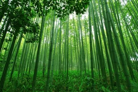 Green bamboo forest Standard-Bild