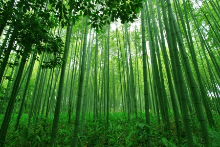 bamboo: Green bamboo forest Stock Photo