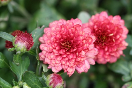 Red petals flower blooming in the garden Stock Photo