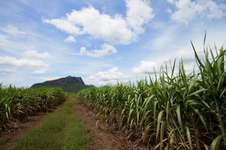 Way in the corn field