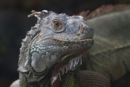 Green iguana's eye in the zoo Stock Photo - 16332445