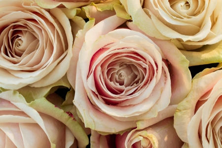 Close-up pink roses bouquet with water drop Stock Photo - 17242657
