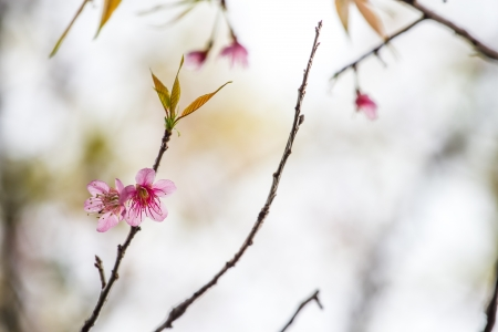 Pink himalayan cherry on a branch photo