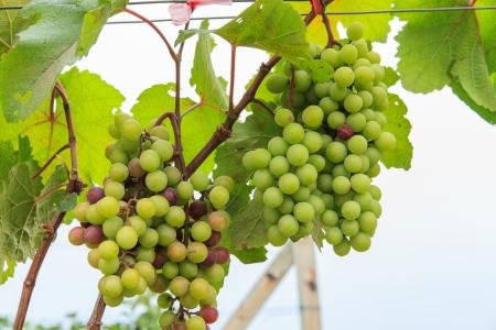 winemaking: Green grape harvesting for winemaking Stock Photo