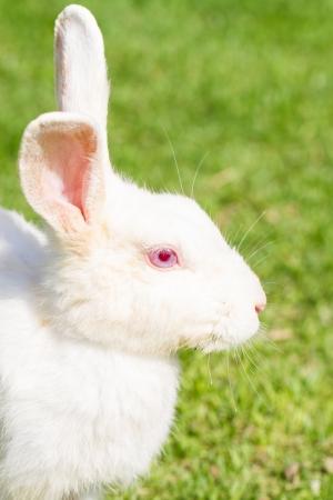 lapin blanc: Lapin blanc avec les yeux rouges Banque d'images