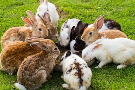 bunny rabbit: Group of rabbits eating food in the garden