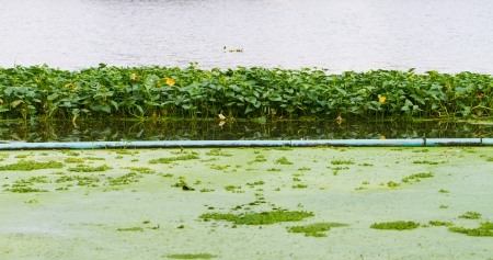 water hyacinth: green water hyacinth in the river Stock Photo