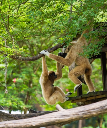 two gibbons playing on tree photo