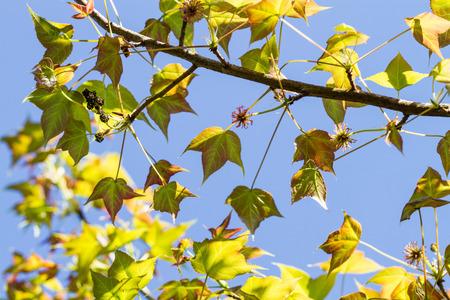 changing color: cambiar de color las hojas de arce en el �rbol