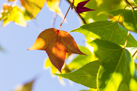 changing color: changing color maple leaves on tree Stock Photo