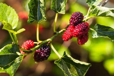 fresh mulberry plant in farm 免版税图像