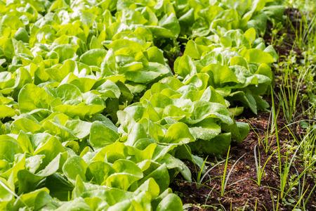 organic vegetable plant in farm