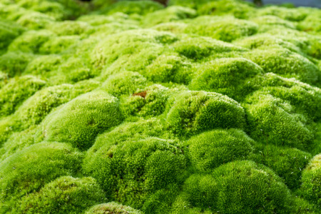 texture of green moss in garden 写真素材