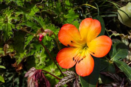 five petals: five petals orange flower in garden